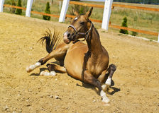 foal with white socks lying on the sand in the paddock Stock Photography