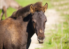 Foal of wild horse (tarpan). On the field Stock Images