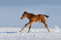 Foal in winter Stock Images