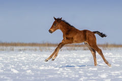 Foal in winter Royalty Free Stock Image