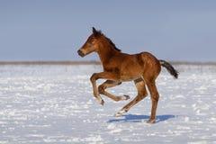 Foal in winter Stock Image