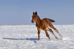 Foal in winter Stock Photography