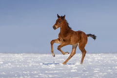 Foal in winter Royalty Free Stock Images