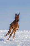 Foal in winter Stock Photo