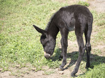 Foal woke up Royalty Free Stock Photo
