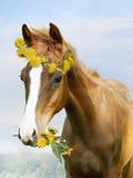 Foal in a wreath of dandelions Stock Image