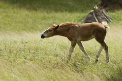 Foal. A young horse (foal) in beautiful summer meadow Royalty Free Stock Photo