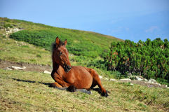 Foal/young horse laying on the mountain hill Royalty Free Stock Image