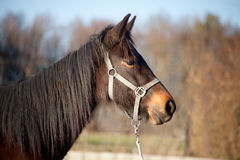 Foal, young horse thoroughbred portrait Royalty Free Stock Photos