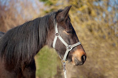Foal, young horse thoroughbred portrait Stock Image