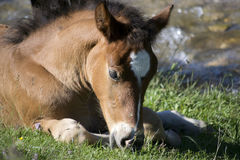 A foal is the youngster of a horse, term used until the age of 1. It needs more rest than the adults, so this cute colt is grazing Royalty Free Stock Image