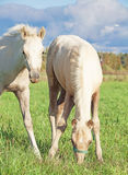 Foales del cavallino di Cremello lingua gallese nel pascolo Immagini Stock Libere da Diritti