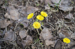 Foalfoot, coltsfoot, sow-foot (Tussilago farfara). Early primroses in the spring wood: foalfoot, coltsfoot, sow-foot (Tussilago farfara Royalty Free Stock Photography
