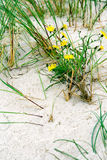 Foalfoots on a Sand. Closeup yellow foalfoots growing on a sand Royalty Free Stock Photo