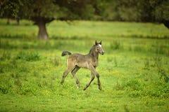 Foalin un champ Photos stock