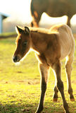 Foaling around. Young Foal at sunset on the range royalty free stock image