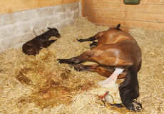 Foaling Stock Photography