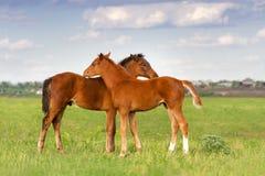 foals βόσκουν δύο Στοκ Φωτογραφίες