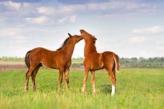 foals βόσκουν δύο Στοκ Εικόνες
