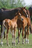 foals δύο Στοκ εικόνες με δικαίωμα ελεύθερης χρήσης