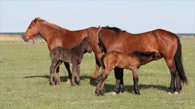 Foals και άλογα απόθεμα βίντεο