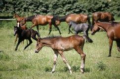 Foals και οι φοράδες βόσκουν μαζί στο καλοκαίρι λιβαδιών στοκ εικόνα με δικαίωμα ελεύθερης χρήσης
