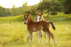 foals πεδίων λίγα Στοκ Φωτογραφία