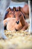 Foals που βρίσκονται στο σανό υπαίθρια Στοκ Εικόνες