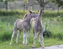 Foals που γύρω Στοκ φωτογραφίες με δικαίωμα ελεύθερης χρήσης