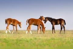 Foals στο λιβάδι Στοκ φωτογραφία με δικαίωμα ελεύθερης χρήσης