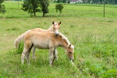 Foals στο λιβάδι, Αυστρία Στοκ Εικόνες