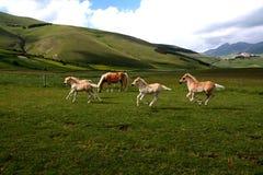 foals τρέξιμο Στοκ Φωτογραφίες