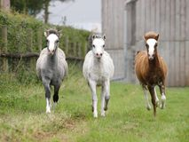 foals τρία Στοκ Εικόνα