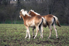 Foals. Two foals running at farm yard royalty free stock images