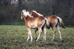 foals Immagini Stock Libere da Diritti