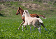 Foals Royalty Free Stock Photo
