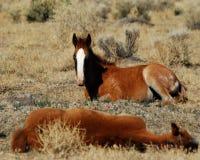 foals Στοκ φωτογραφία με δικαίωμα ελεύθερης χρήσης