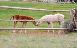 Foals amichevoli fotografia stock