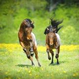 Δύο μικρά foals appaloosa που στο λιβάδι Στοκ Εικόνες