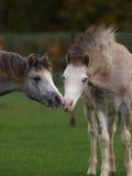 Foals di chiacchierata Fotografia Stock Libera da Diritti