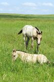 Foals in field Stock Photography