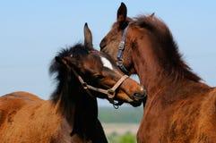 Foals in field. Bay trakehner foals in field Stock Photos