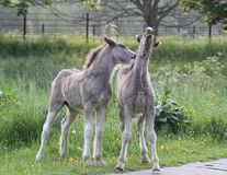 Foals fooling around. Two foals in a common near London play around Royalty Free Stock Photos