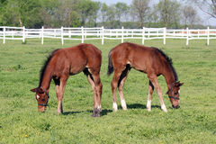 Foals Grazing In Corral Stock Photography