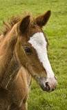 Foals head Stock Images