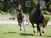 Foals Holsteiner Στοκ Εικόνα