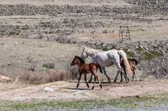 Foals horse steppe Royalty Free Stock Image