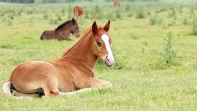 Foals and horses Royalty Free Stock Photography
