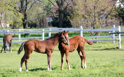 Foals In Corral Royalty Free Stock Photography