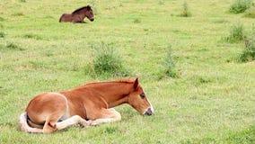 Foals lying on field stock footage